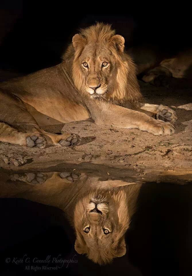 Reflection of the king