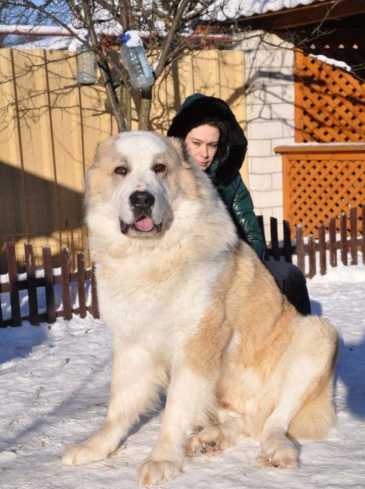 Alabai With Images Alabai Dog Large Dog Breeds Kangal Dog
