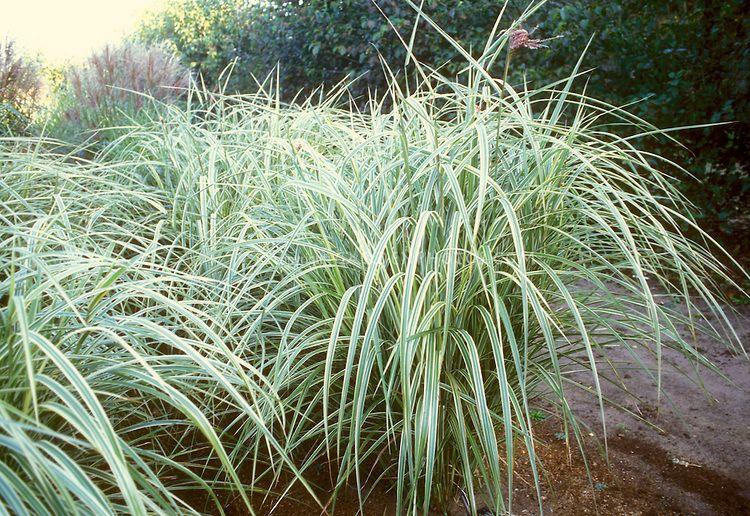 Ornamental grass miscanthus sinensis dixieland large clump of gardens ornamental grass workwithnaturefo
