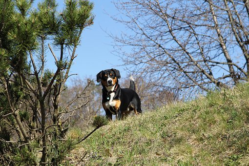 Entlebucher Mountain Dog. Looking for information about ...