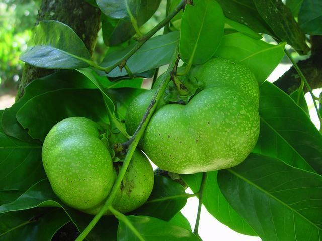 black sapote noire fruits des antilles antilles fran aises pinterest fruits exotiques. Black Bedroom Furniture Sets. Home Design Ideas