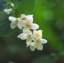How To Propagate Jasmine Plants Ehow Jasmine Plant Garden Vines Plants