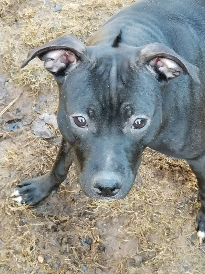 Adopt Mercedes on Pitbull terrier, Dogs, Pets