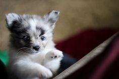 Australian Shepherd And Pomeranian Mix Cute Baby Animals Baby