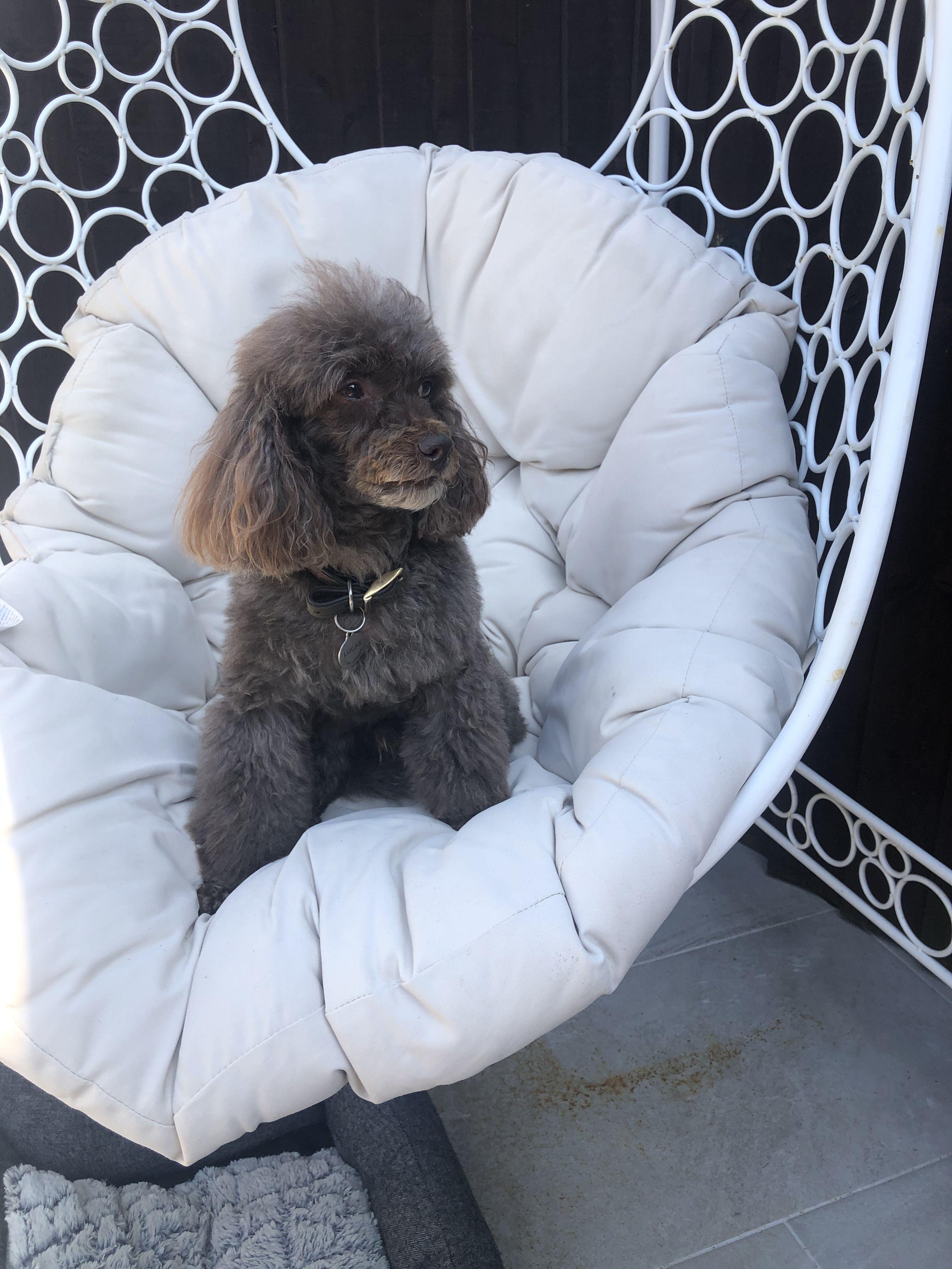 #toypoodle #poodle #poodlelife #poodles #chocolatepoodle #poodlelove