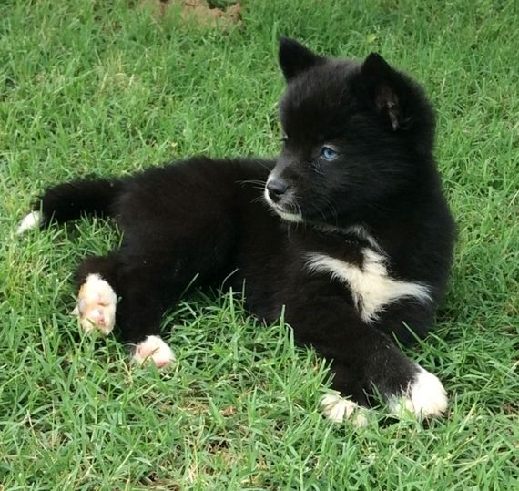 Davi S Delight Pomsky Puppy Puppyspot Pomsky Puppies Puppies Kittens And Puppies