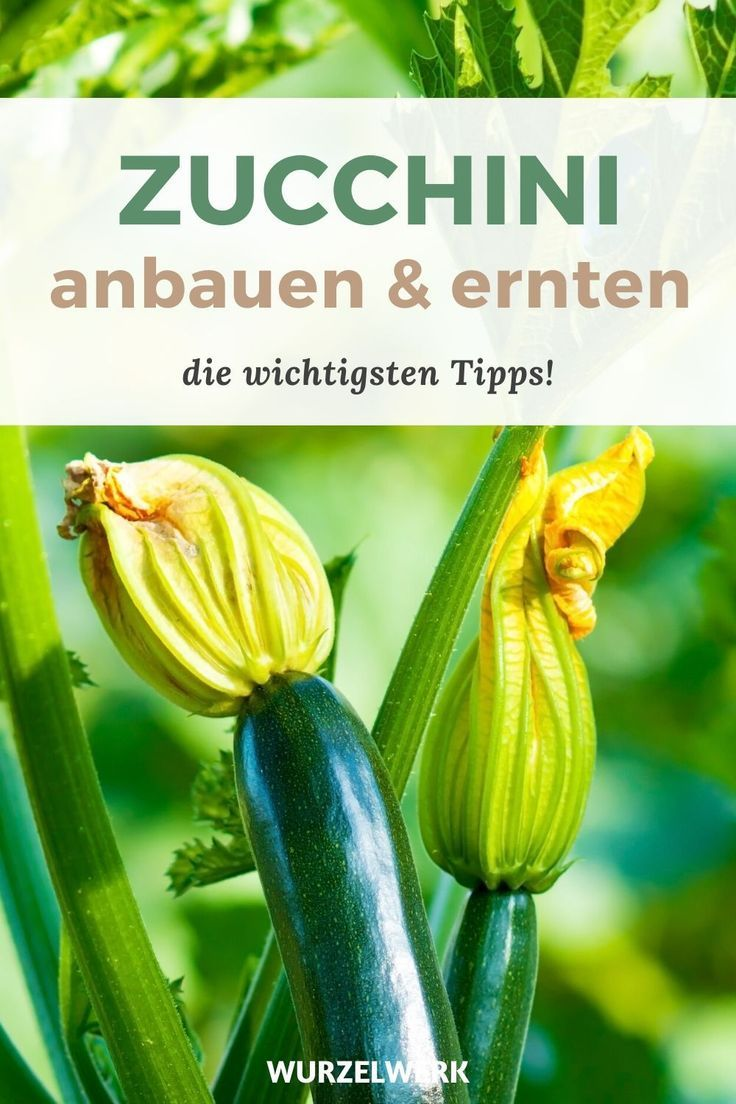 Zucchini pflanzen, anbauen & ernten – Der komplette Guide