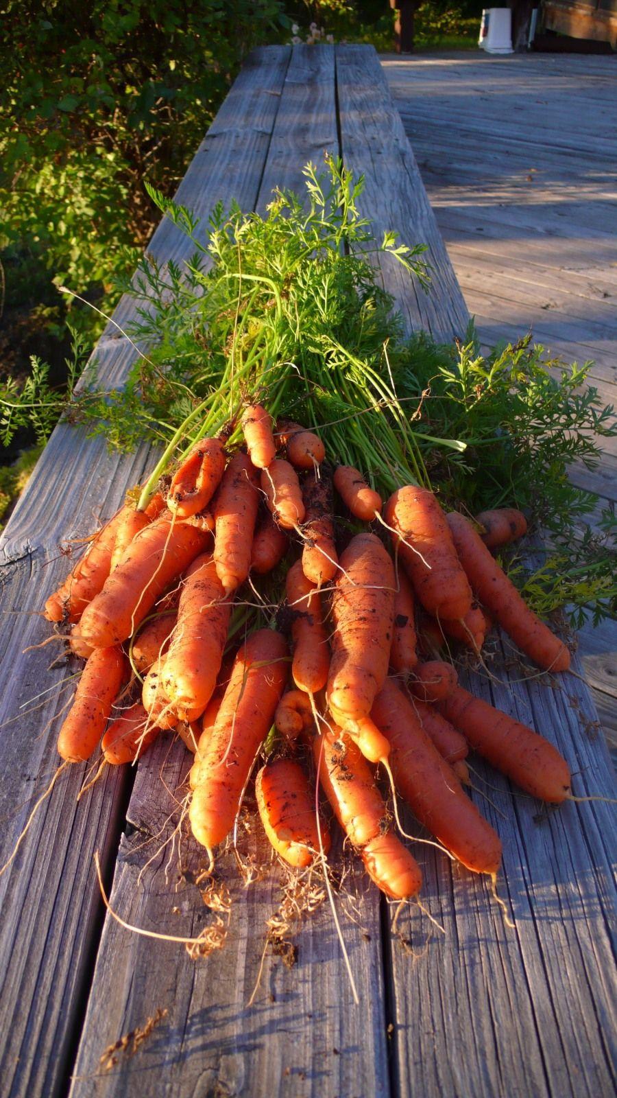 Полезные свойства моркови. Состав, противопоказания - Ботаничка.ru