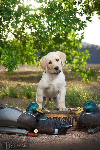 Yellow Labrador Puppy With Duck Decoys Www Superstarpetservices