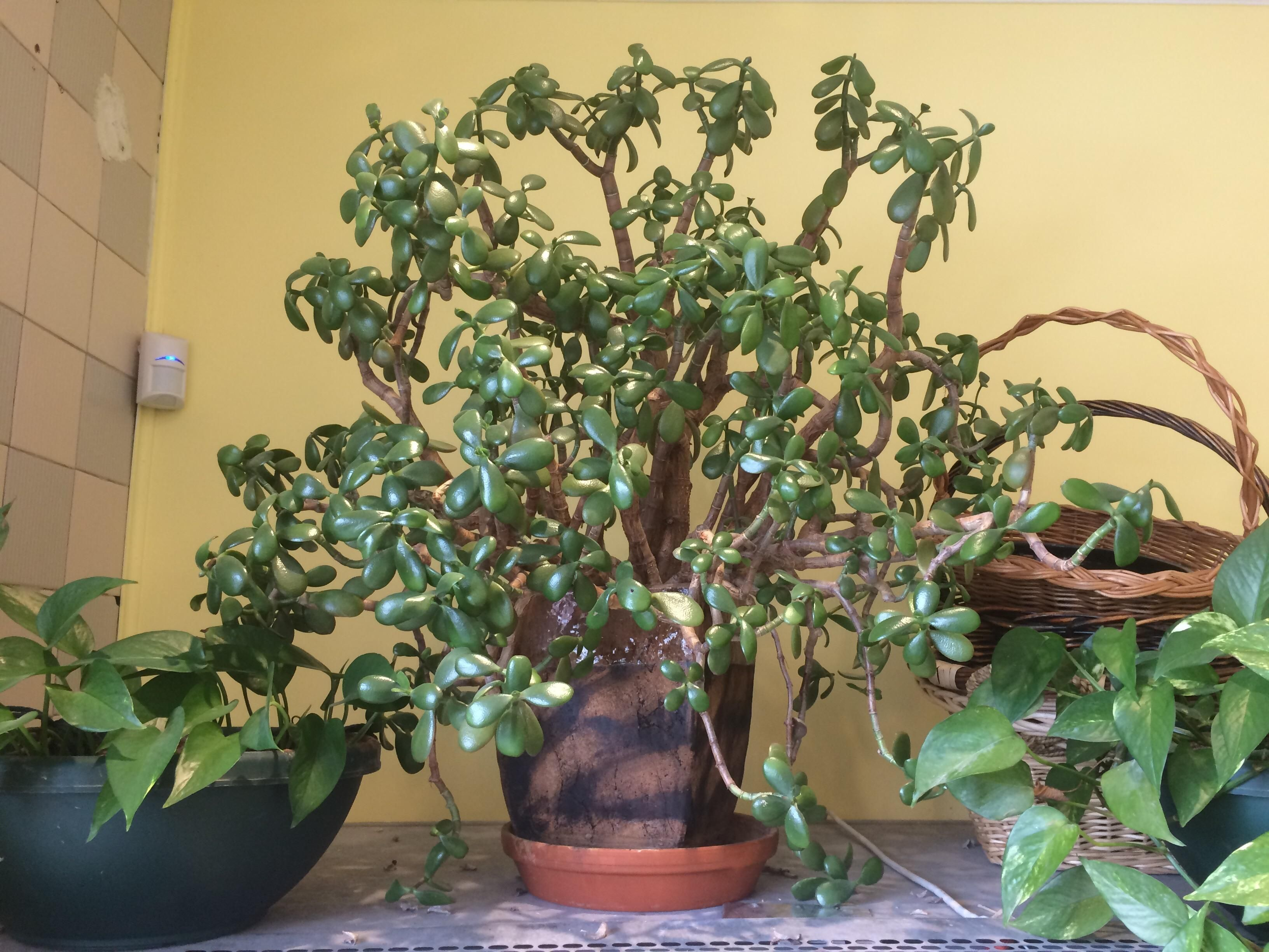 The 20 Year Old Jade Plant I Help Take Care Of At Work One Of My Coworkers Nearly Killed It But After A Bit Of Pruning And No Wate Jade Plants