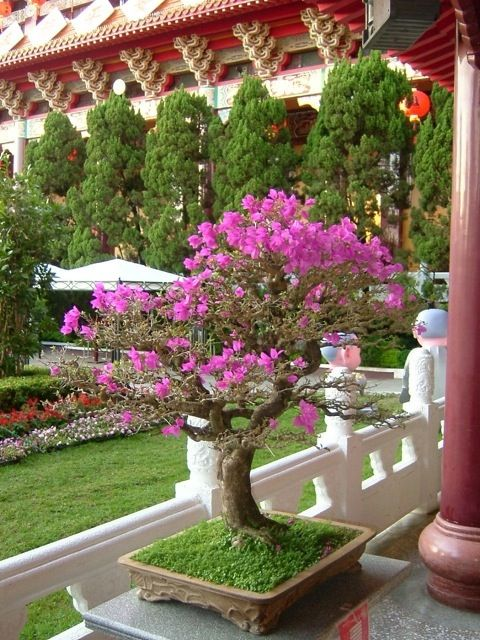 Bougainvillea Bonsai – King of Flowering Trees | zakkabonsai