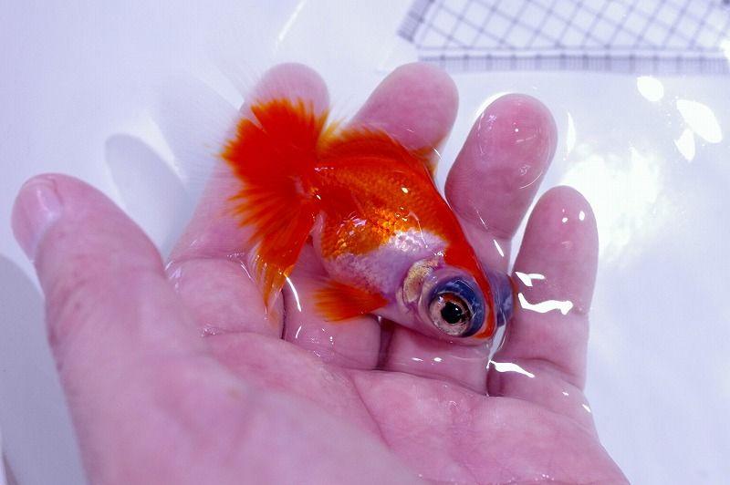 Pin By M Deadly604 On Goldfish金鱼 Fish Pet Goldfish Pets
