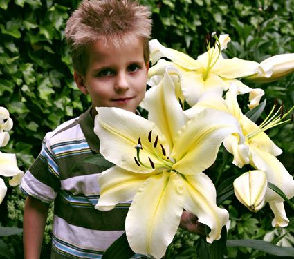 NEW! Lilium Big Brother®  A White Flower Farm Exclusive. This splendid Orienpet Lily is one of the newest varieties in Lily breeding and offers huge (almost 15in across) trumpets of creamy yellow. Strong, thick stems support the massive blooms.