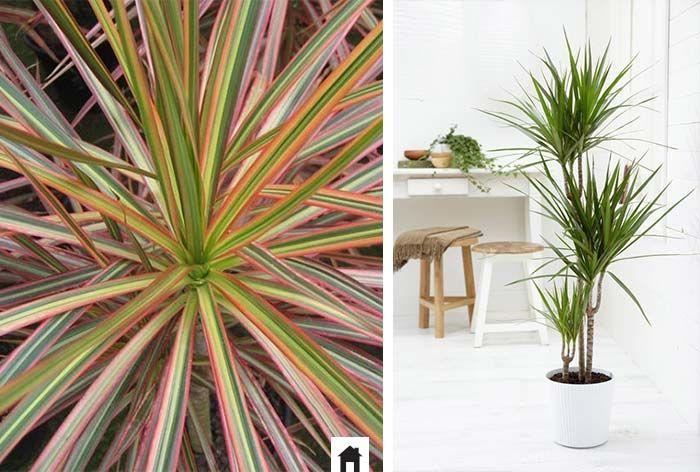 25 plantas resistentes ao sol jardins - Entretien dracaena marginata ...