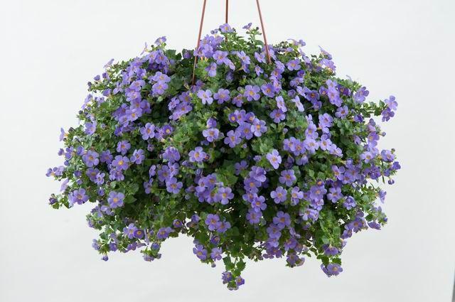"""Bacopa 'Scopia® Gulliver Blue'. Sutera grandiflora. 4-6"""" tall. Trails 12""""."""