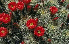 Echinocereus triglochidiatus-state cactus