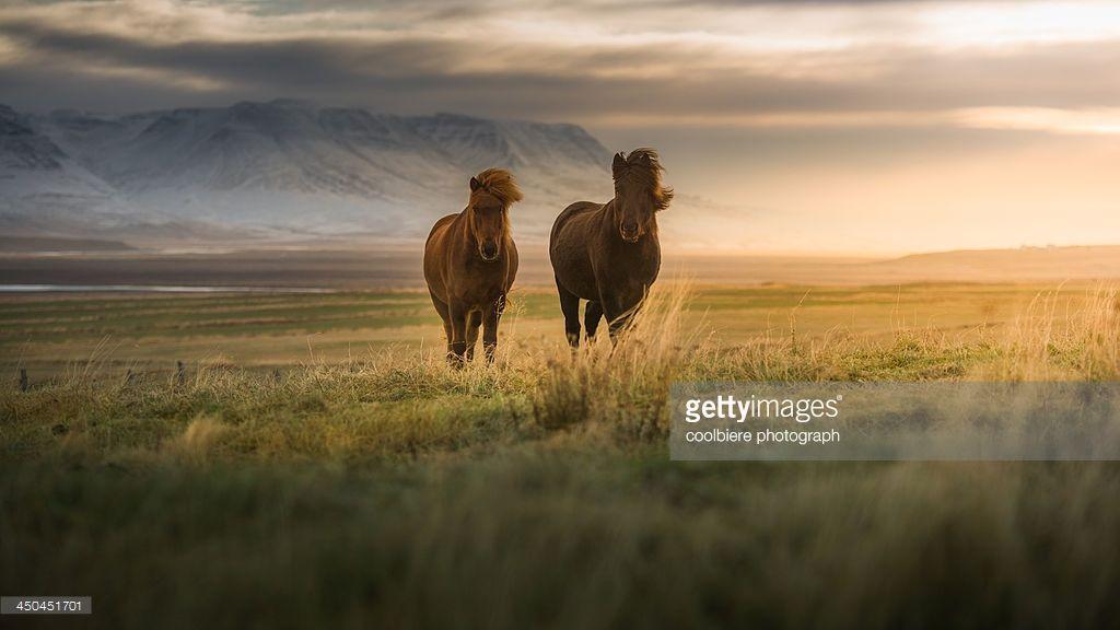 Icelandic horses on the field