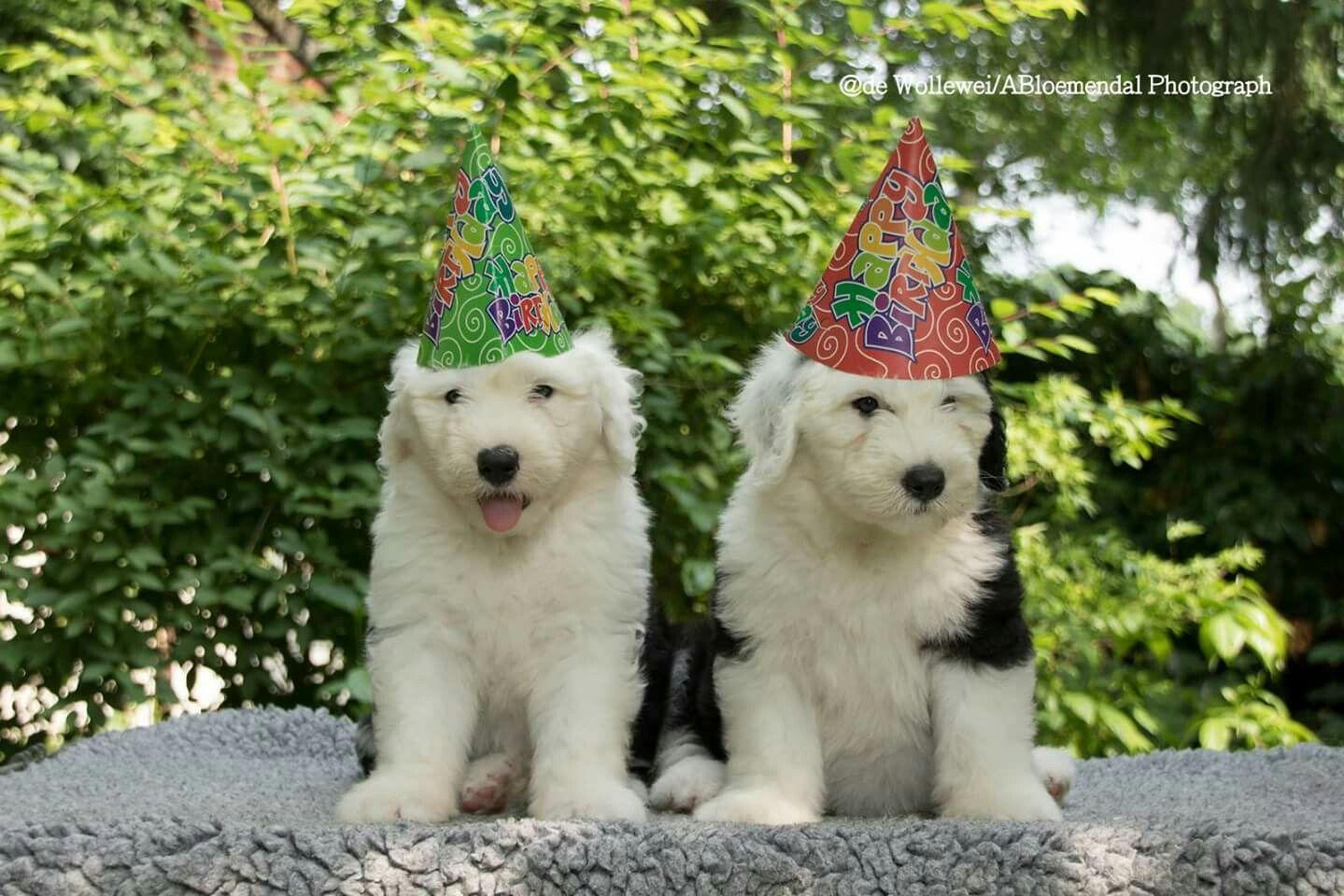 Verjaardag Groetjes Sheepies Pinterest English Sheepdog Sheep