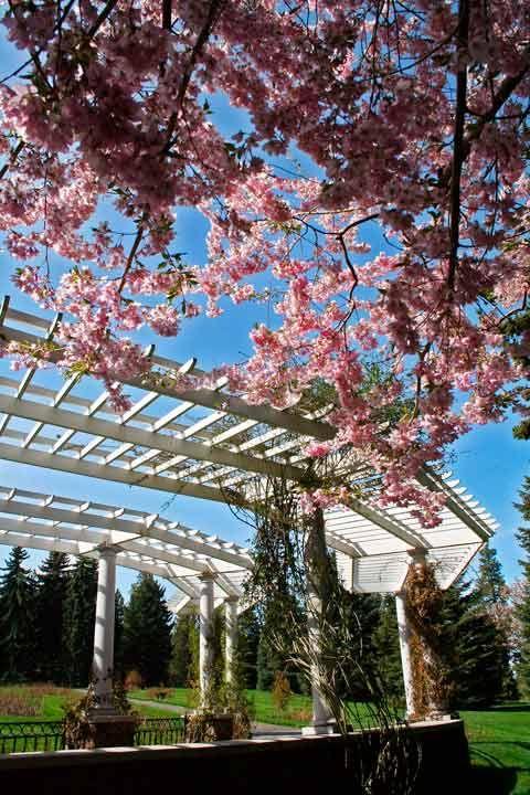 Pergola Cherry Blossoms Rose Garden Manito Park Spokane Wa Pergola Rose Garden Cherry Blossom Tree