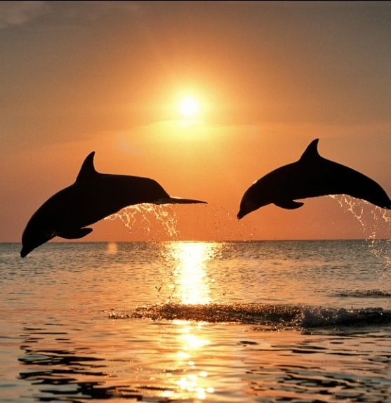 Dolphins in the sun set