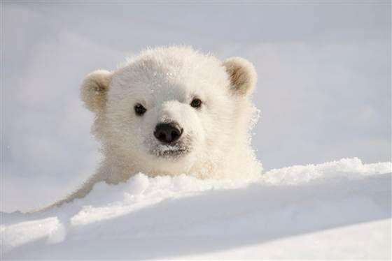 Photographer Gets Up Close With Orphan Polar Bear Cute Polar Bear Baby Polar Bears Polar Bear