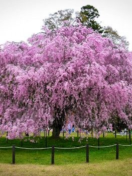 Pink Weeping Cherry Willow Trees Garden Weeping Cherry Tree