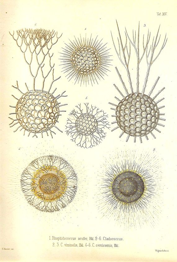 Ernst Haeckel OCEAN Art Print Beautiful Colored Book PLATE 14 Rhaphidococcus Acufer, Cladococcus Viminalis
