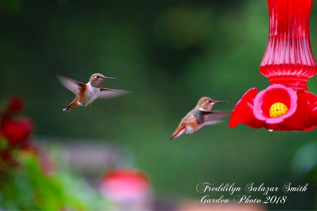 Taking turns! .#hummingbird#hummingbirdlove#bird#backyardbirdwatching#backyardgarden#gardening#hummingbirdlove#birdsandflowers_studio#birdsofinstagram#birds#birdie#birdandgarden#gardencreatures#hummingbirdfeeder#hummingbird_hub#beautifulbirds#hummer#hummingbird#hummingbirdparty#birdfeedersofinstagram