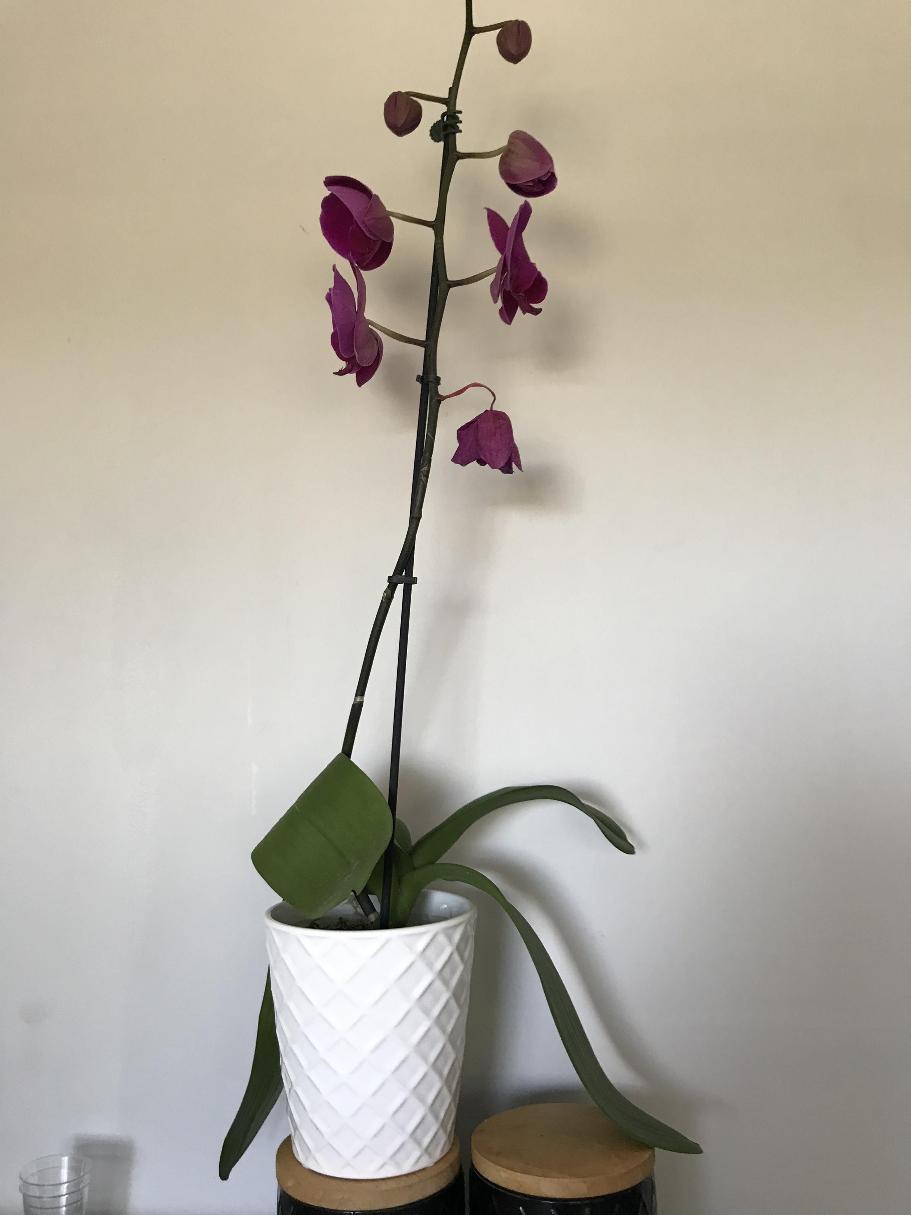 Is It Normal For An Orchids Leaves To Be So Droopy And One Of The Flowers Are Starting To Droop Too Anyone Know The Cause Orchid Leaves Orchids Orchid Plants