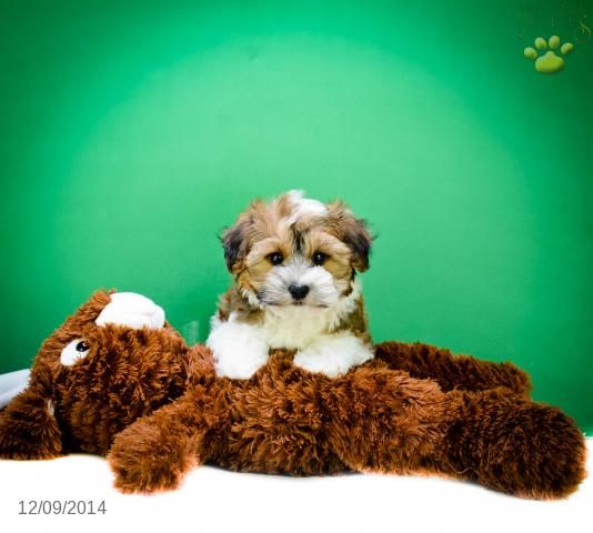 Havanese Puppy for Sale in Ohio Havanese puppies