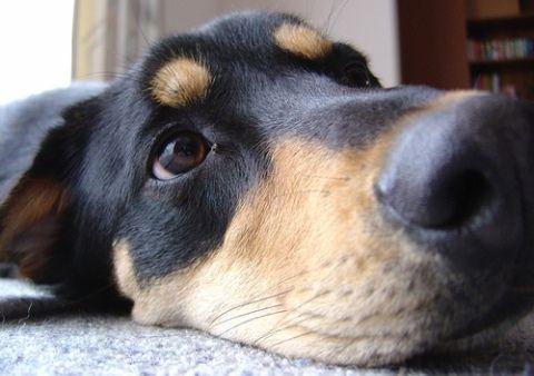 New Zealand Huntaway Unique Dog Breeds Popular Dog Breeds Rare Dog Breeds