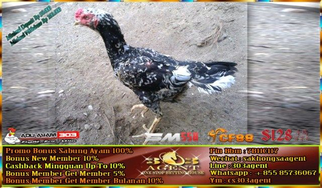 Ciri Ciri Ayam Bangkok Betina Yang Bagus Untuk Dijadikan Babon Cetak