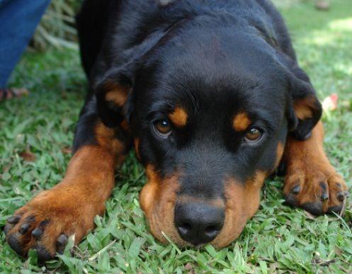 Cucciolo cerca di intimidire il Rottweiler per ottenere un ...