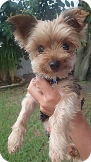 Clearwater Fl Yorkie Yorkshire Terrier Meet Nina A Dog For Adoption Http Www Adoptapet Com Pet 1336 In 2020 Yorkie Yorkshire Terrier Yorkshire Terrier Terrier