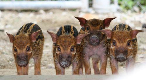 Say hello to Kansas City Zoo's Red River Hog quartet!
