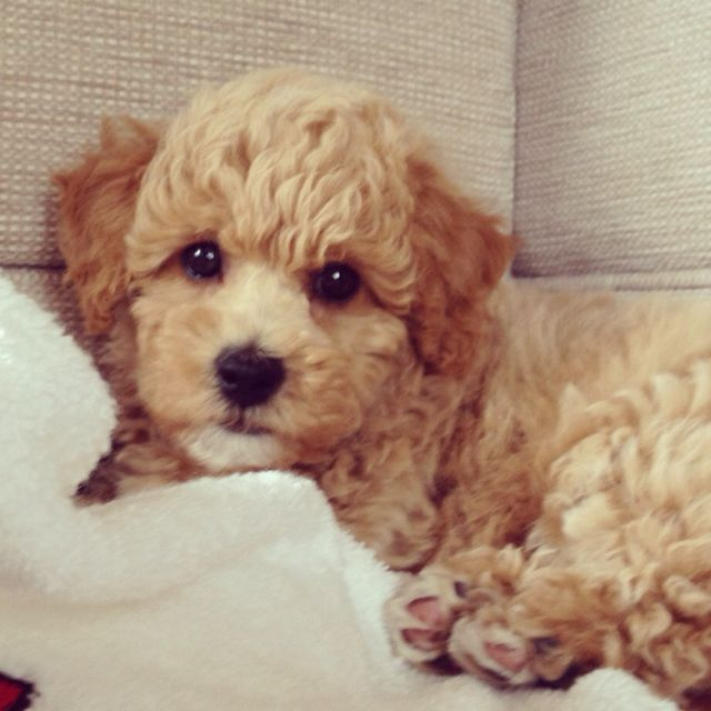 My First Dog Will Be A Poochon So Freaking Cuteeee Poochon Puppies Poochon Dog Cute Dog Mixes