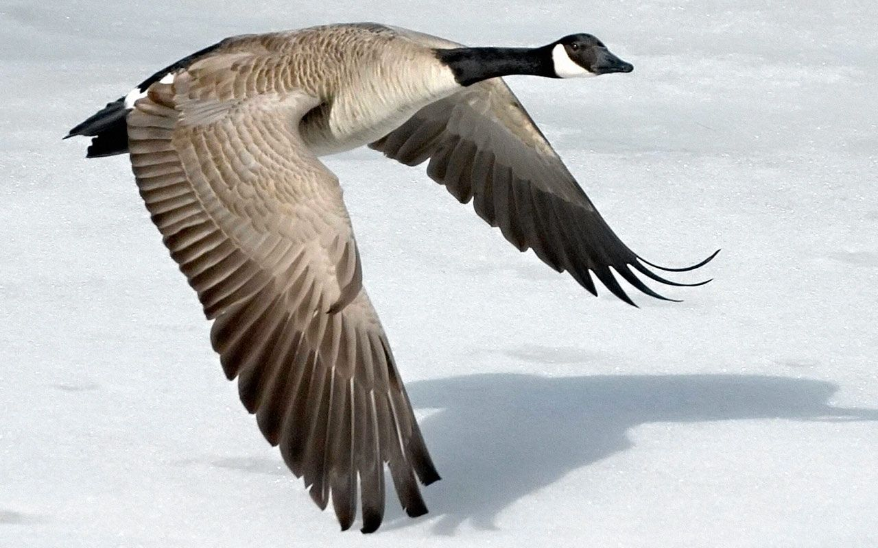 30a081ce983 Geese Wallpapers | Animals | Birds, Canada goose, Native american ...