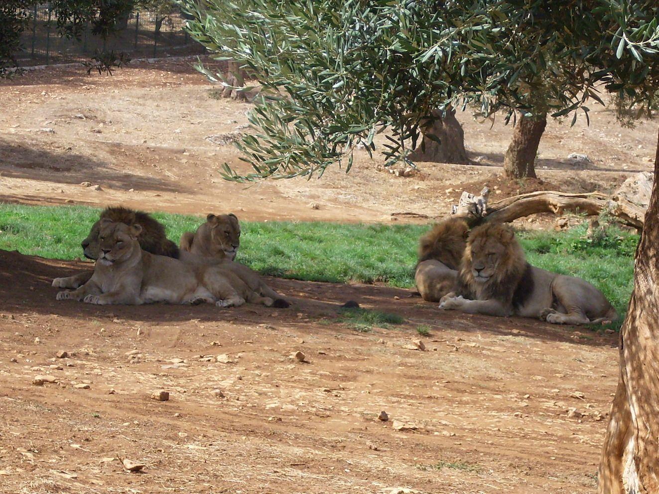 Lions at the zoo safari of Fasano | Viaggi