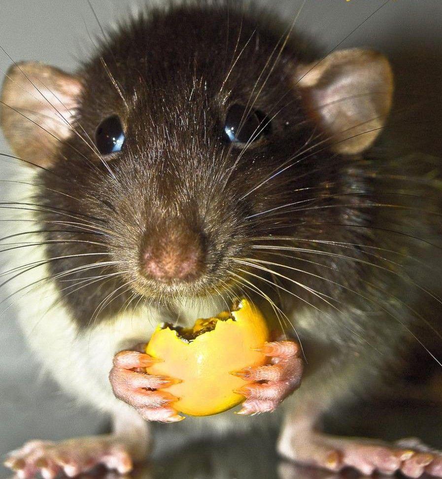 Смешные картинки крыса, садик открытка