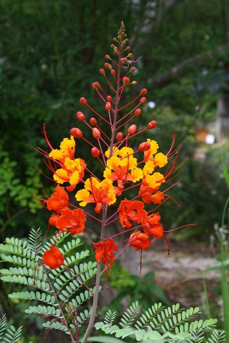 Shrubs Trees Pride Of Barbados Mexican Red Bird Of Paradise Dwarf Poinciana Peacock Flow Birds Of Paradise Plant Paradise Plant Birds Of Paradise Flower