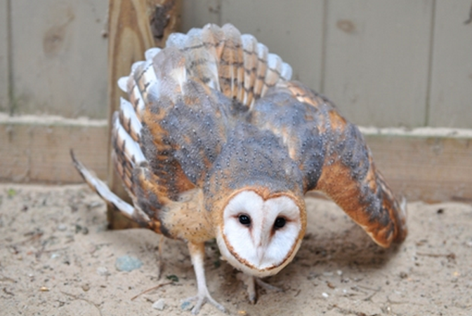 Barn Owls make hissing and clicking sounds when in defense ...
