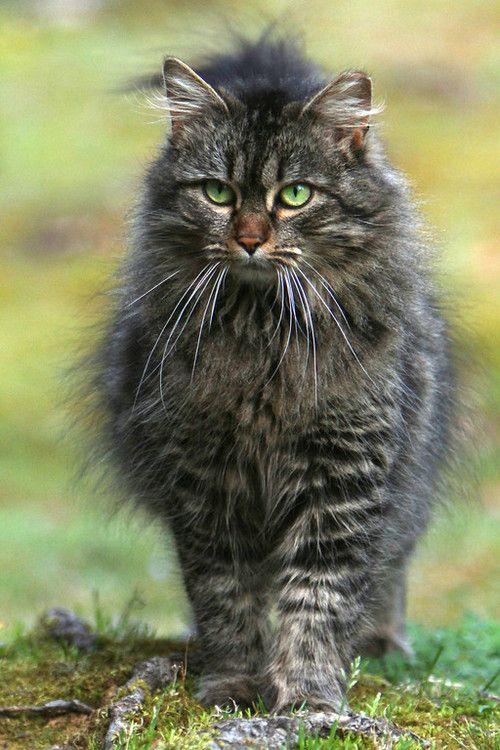 Via Storm Turtle Pretty Cats Beautiful Cats Warrior Cats