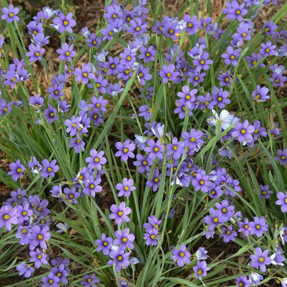 Sisyrinchium angustifolium 'Lucerne' Low maintenance