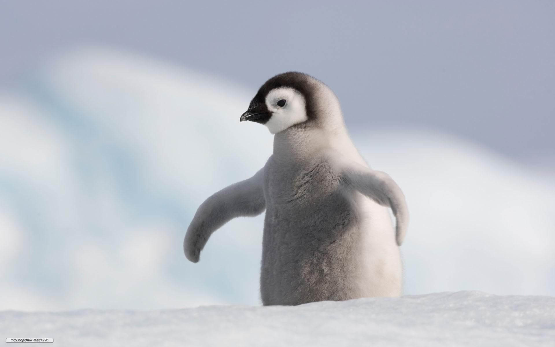 Baby Penguin Wallpaper High Quality Resolution With High Resolution 1920x1200 Px 84 57 Kb Penguin Wallpaper Animals Baby Penguins