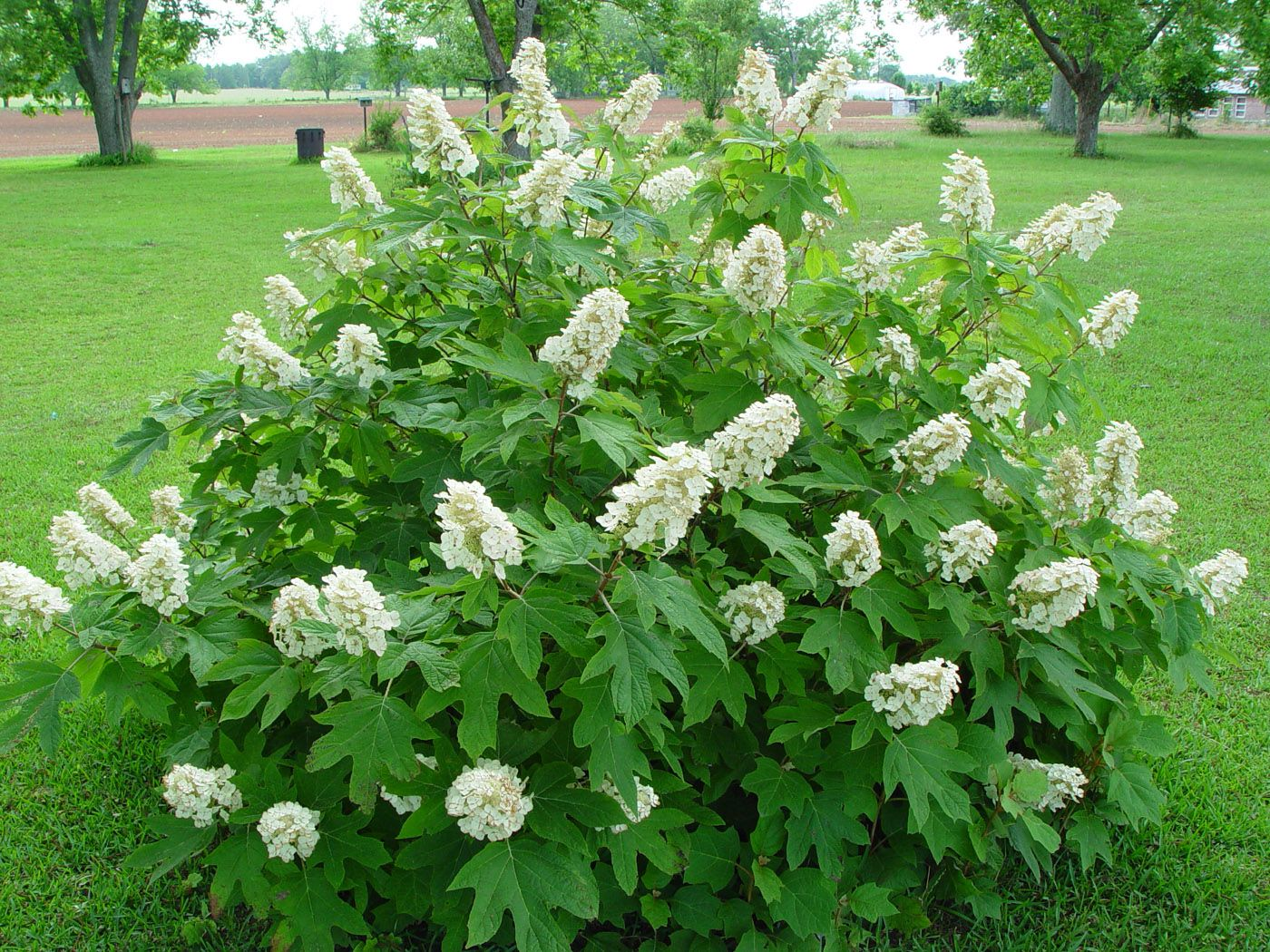 Oakleaf Hydrangea : Trees : Pinterest : Hydrangea, Shrub and Gardens