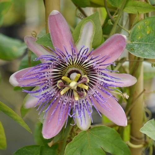 Passiflora X Belotii Perfume Passion Dimensiones Adultas Altura Hasta 3 Metros Ancho Hasta 2 Metros Follaje Peren Passion Flower Fragrant Plant Flowers Uk
