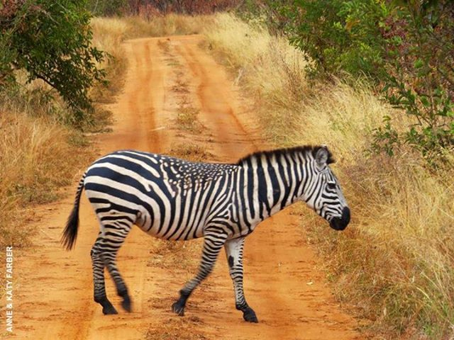 An unusual sighting in Tarangire. No, this photo hasn't been photo-shopped...this zebra actually has spots! #unusualanimals https://www.facebook.com/photo.php?fbid=10151603398877267&set=a.10151158652172267.443964.183223822266&type=1&theater