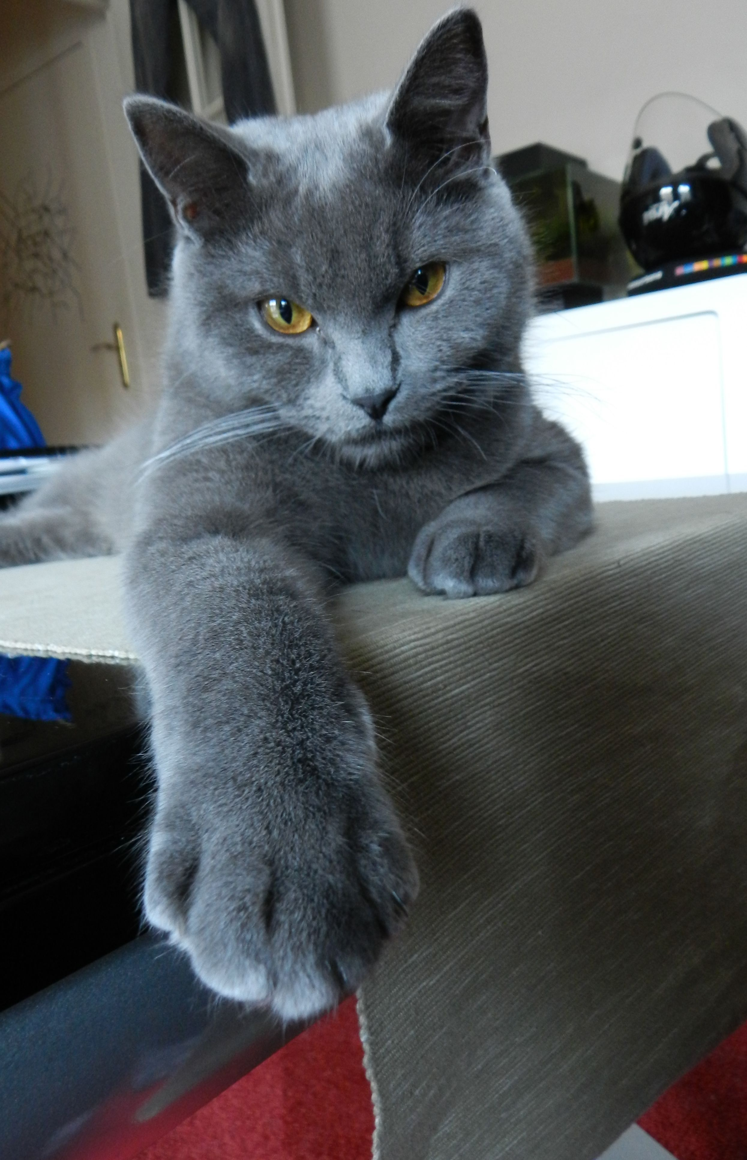 Red - Chat, Chartreux … | Blue cats, Russian blue, Russian