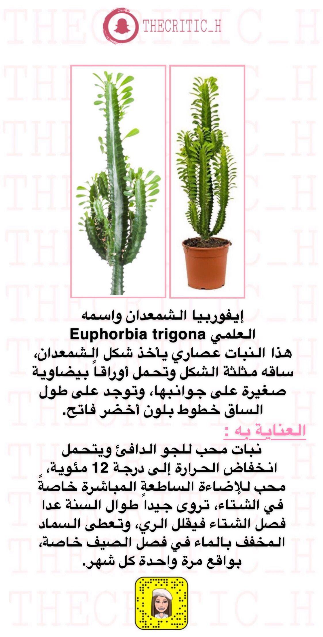 Euphorbia ايفوربيا الشمعدان Euphorbia Plants House Plants