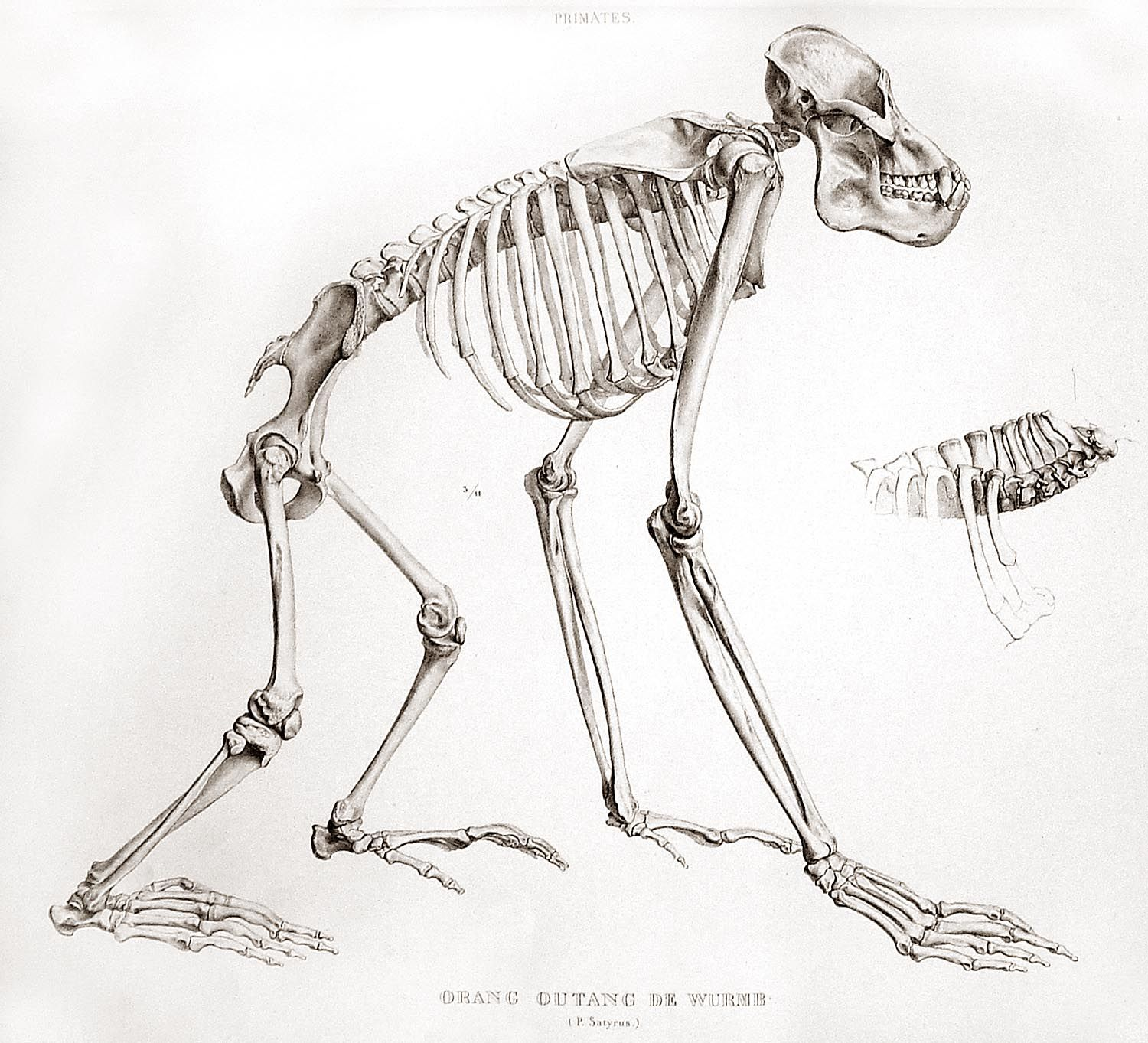 The skeleton of an orangutan. | Animals | Pinterest | Orangutan ...